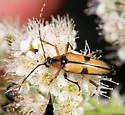 Flower Longhorn - Etorofus subhamatus - female