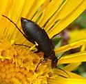 Blister beetle? - Epicauta pennsylvanica