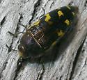 Beetle #2 - Acmaeodera pulchella
