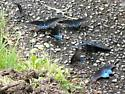 Pipevine Swallowtails puddling - Battus philenor - male