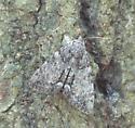 Underwing Moth - Catocala palaeogama