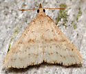 speckled renia - Renia salusalis - male
