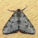 Small Phigalia - Phigalia strigataria