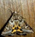 Which Underwing? - Drasteria graphica
