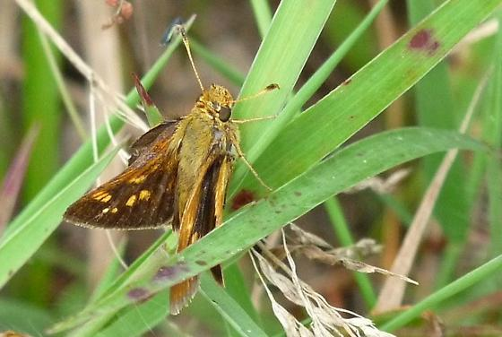 Skipper 801-1 - Hesperia leonardus