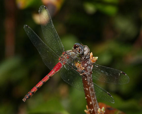 Blue-faced Meadowhawk - Sympetrum ambiguum