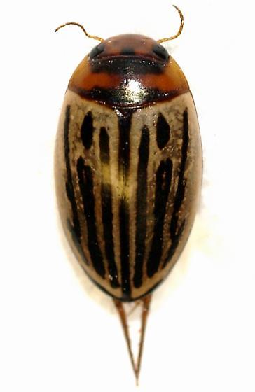 Dytiscid - Agabus disintegratus