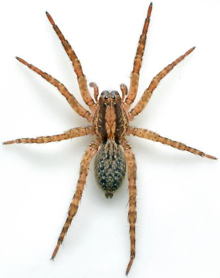 Wolf Spider - Trochosa sepulchralis - female