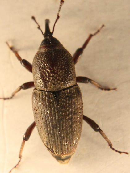 Sphenophorus venatus vestitus - Sphenophorus venatus