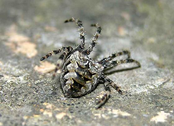 Paralyzed Orb Weaver - Araneus nordmanni
