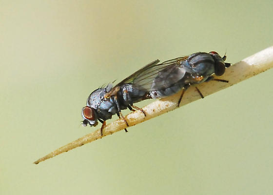 Fly associated with cochineal, mating pair - Leucopis bellula - male - female