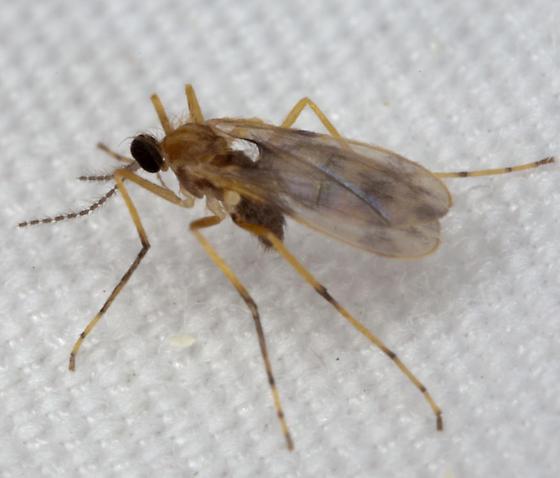 Fly IMG_2793 - Lestodiplosis - female