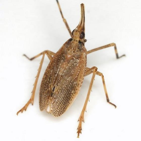 Scolops sulcipes (Say) - Scolops sulcipes