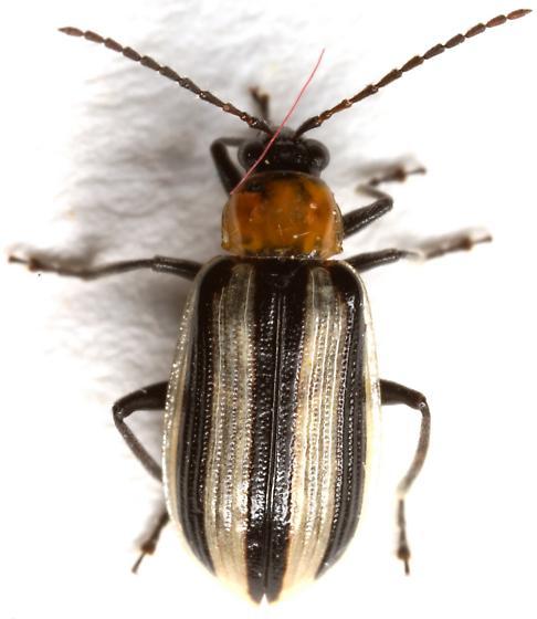 Western Striped Cucumber Beetle? - Acalymma trivittatum