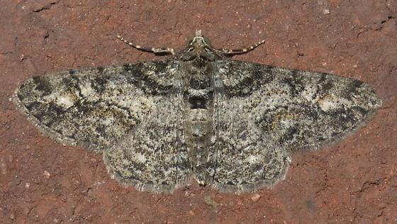Mottled Geometrid - Cleora sublunaria