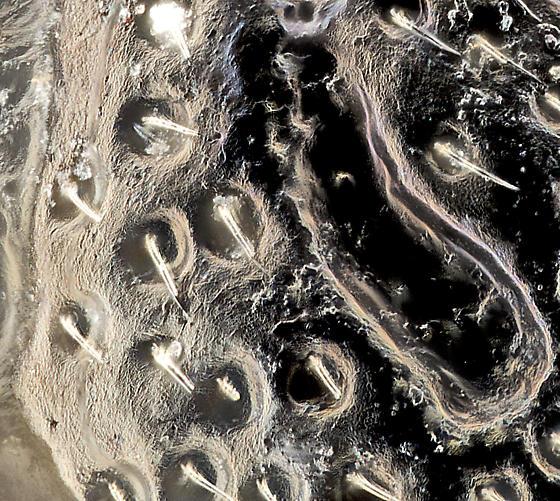Beetle, dorsal pronotum detail - Ochthebius puncticollis