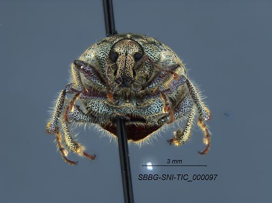 Curculionidae - Trigonoscuta