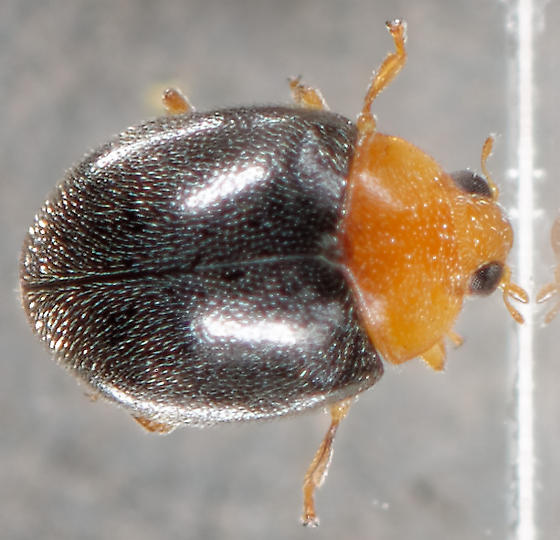 tiny lady beetle - Diomus