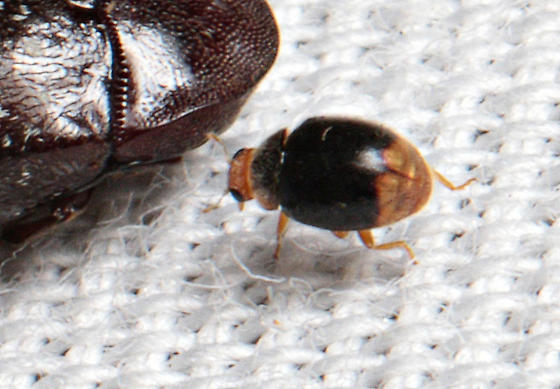Tiny beetle - Diomus terminatus
