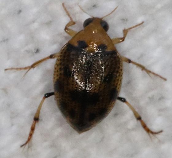 Insect - Peltodytes