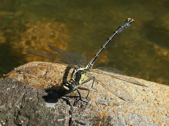 Grappletail - Octogomphus specularis - male