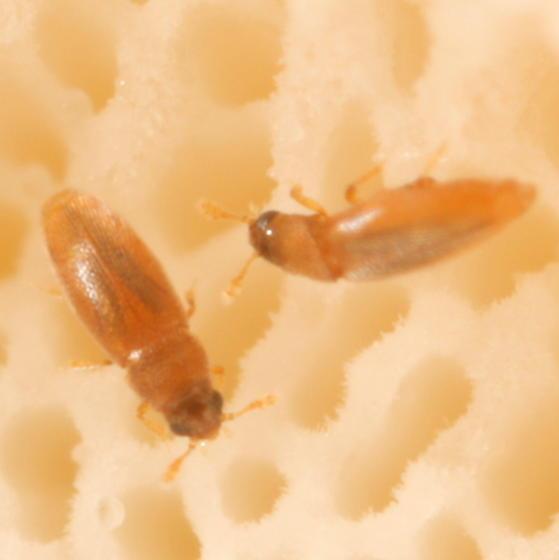 Tiny beetles on polypore - Nanosella
