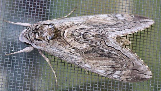 Big Brown Moth - Manduca quinquemaculatus