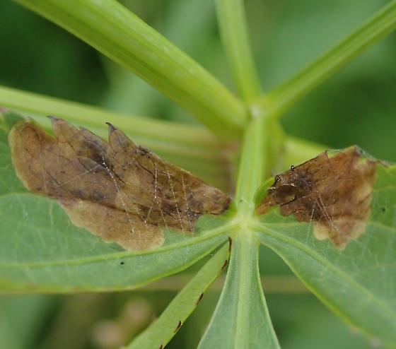 Leaf mines - Epermenia pimpinella