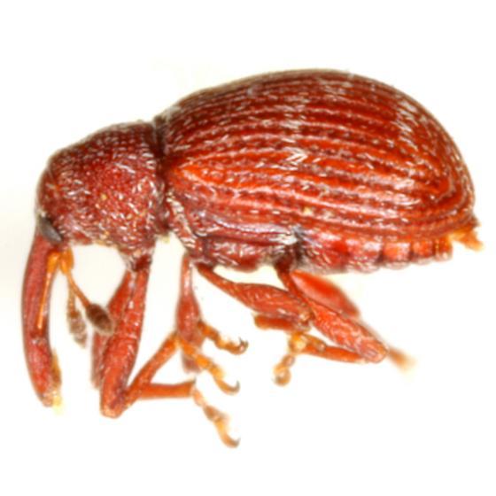 Anthonomus subfasciatus LeConte - Anthonomus subfasciatus