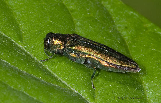 Green Buprestid from Indiana - Agrilus planipennis