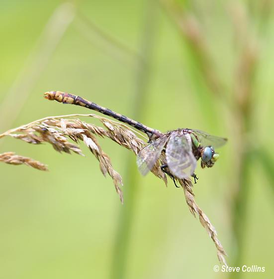 Ophiogomphus incurvatus incurvatus - Ophiogomphus incurvatus - male