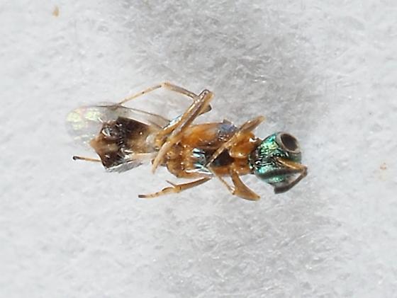 Chalcidoid wasp from Io Moth eggs