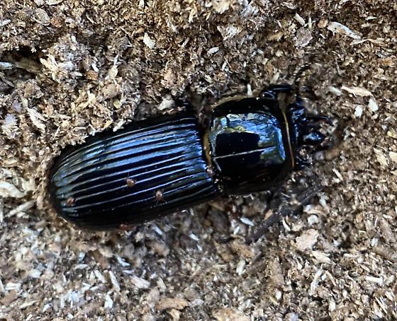 Beetle found under a log - Odontotaenius disjunctus