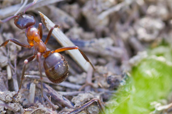 formica incerta_mound ant_ow_vs2375_3510 Please Verify - Formica ulkei