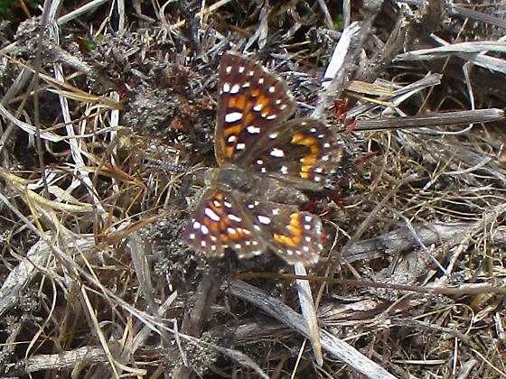 Small buttlerfly; brown with white spots; size of quarter. - Apodemia