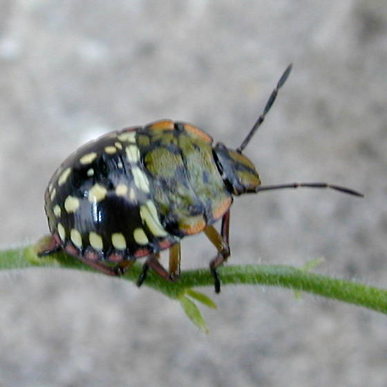 Unknown beetle - Nezara viridula