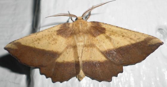 Euchlaena serrata – Saw-wing 6724 30 June 2013  - Euchlaena serrata - male