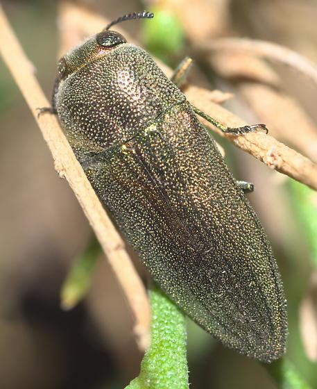 Green Buprestid - Agaeocera gentilis