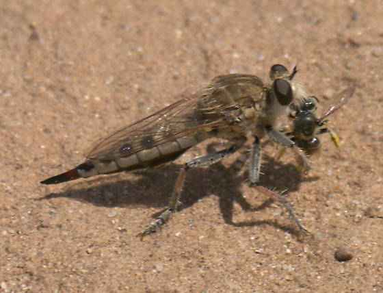 Robber Fly (and a bee) - Efferia albibarbis