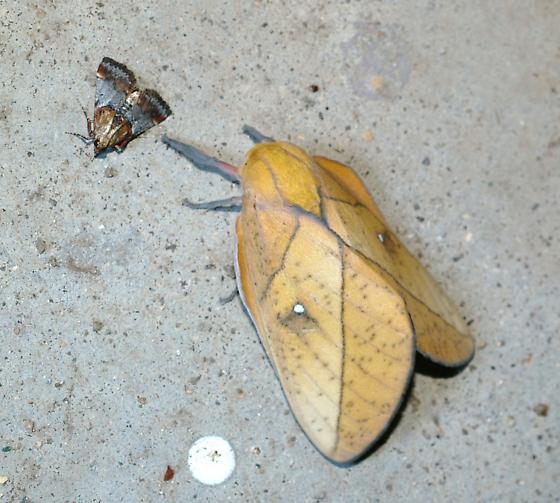saturniid - Syssphinx montana