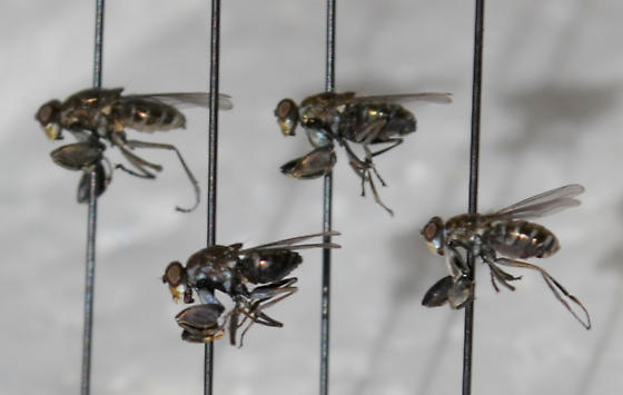 fly with raptorial forelegs - Ochthera