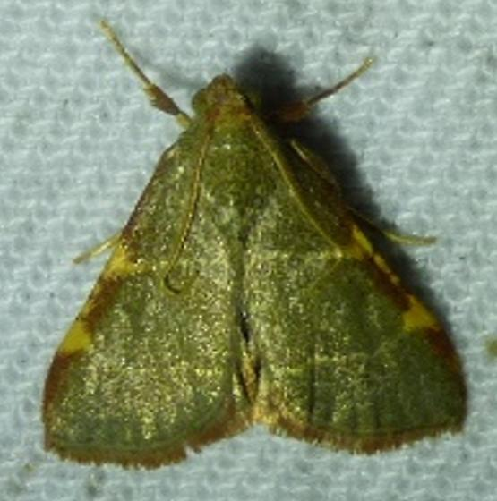 Hypsopygia olinalis Yellow-fringed Dolichomia Moth  - Hypsopygia binodulalis