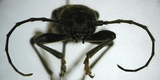 Trichoferus campestris