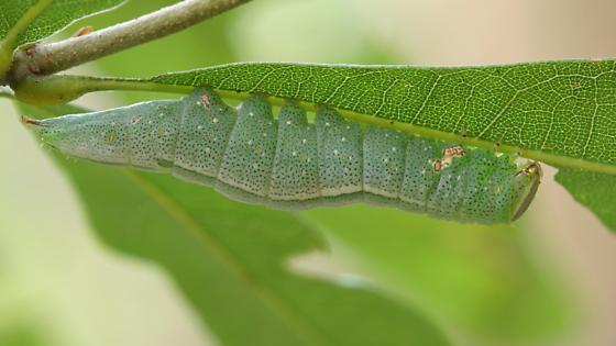 Prominent Caterpillar - Heterocampa guttivitta
