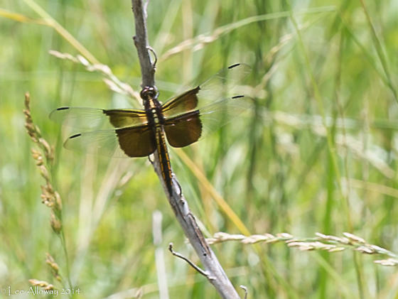 Widow Skimmer - Libellula luctuosa - male