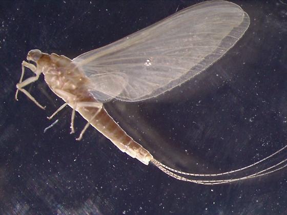 Ephemeroptera - Ephemerella dorothea