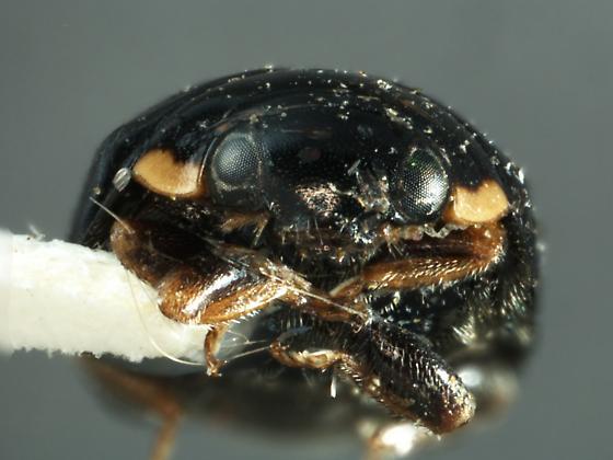 Hyperaspis pair - Hyperaspis jovialis - female