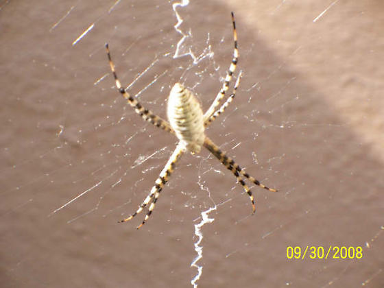 Arizona unknown spider - Argiope trifasciata
