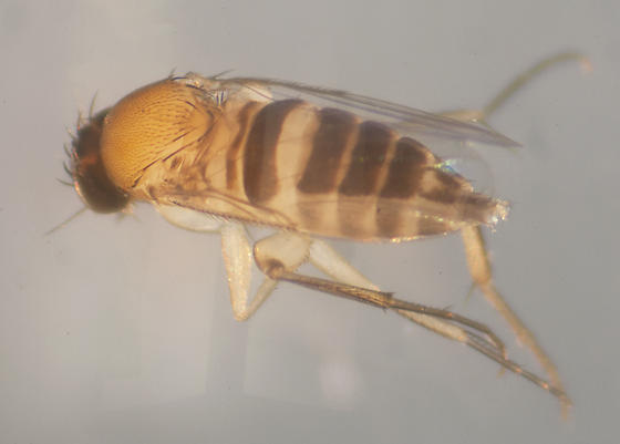 Unknown Fly - Megaselia