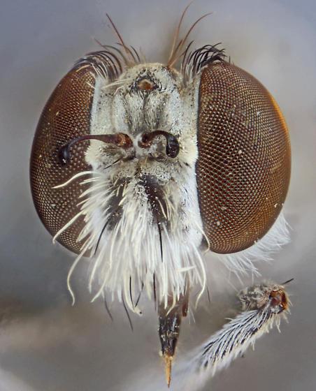 Nannocyrtopogon inyoi, male. - Nannocyrtopogon inyoi - male